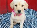 Beautiful English Labrador retriever puppies 2 males and 3 females available Shots and de-worm