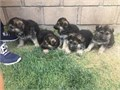 German Shepherd puppies 8 wks old 1st shot blktans big boned nice markings very healthy ener