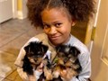 Teacup Yorkie Puppies available for sale they are all trained for home and potty and will come alon