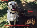 Harley is a Big yellow English and American Lab with a Huge Block Head OFA results are Hips Good an