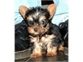 Healthy Yorkshire Terrier puppies for sale Puppies are home and potty trained They are already dew