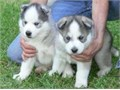 Blue Eyes Siberian Husky Puppies For Sale Gorgeous Blue Eyes Siberian Husky Puppies For saleThey