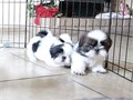 Shih tzu puppies are available now our puppies are top quality and absolutely g