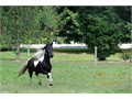Top Experienced FriesianHe is 50 Friesian and 50 Spotted Saddle Horse He has been through some t