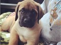 English mastiff pup for sale Well and home trained English mastiffpuppies for s