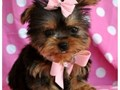 4 beautiful Yorkie puppies for adoption They are 12 weeks old Great pups very