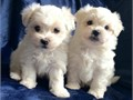 Charming male and female Maltese pups for adoption Registered 5 generation pedigree 1st vaccinati