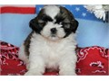 2Adorable Shih tzu Puppies For Sale They are up to date with all their shots and are ACA Registered