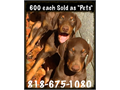 Top Quality Doberman Pinschers for Sale at 600 eachSERIOUS BUYERS ONLY- sold as pets NO FAKC81
