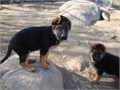 AKC German Shepherd pups Red and Black show dogs 10 weeks one male pup and one f