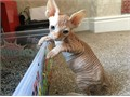 Three adorable Sphynx kittens available for adoption One blackwhite boy one white female and one