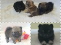 AKC babydoll Pomeranian pups All males chocolate merle blacktan and orange sable Shots and dewo