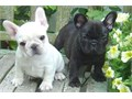 french bulldog puppies are available  contact us now