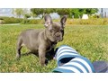 French Bull text 209 382-8258