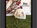 I have available super cute purebred  Holland lop bunnies  Holland Lops are a dwarf breed of rabbi