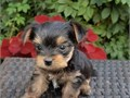 Adorable outstanding Yorkie puppies ready for their new and forever lovely home