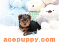 we have 2 months old tiny teacup Yorkie puppies available adorable boys and girls estimated to be