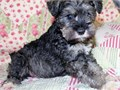 Beautiful CKC registered Mini-Schnauzer puppies They have been homed raised with our grandchildren