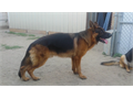 Big bone AKC german shepherd available for stud Show line Extremely red color Call for more inform