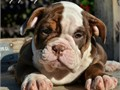 OLDE ENGLISH BULLDOGGE PUPPIESWe have 2 blue females 2 chocolate tri-color females and 1 cho