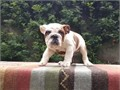 Really strong healthy English Bulldogs available  Male FemaleRehoming Pet Price  200000 AKC