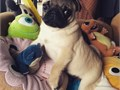 We have a beautiful litter of apricot pugswe have mum and dad here for you to seethey have been ve