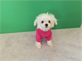 Teacup maltese female DOB 518 up to date on shots and deworm had a vet check comes with a record