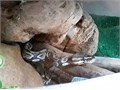 We have a male 1 yeard old bald python that needs a new home please contact text only at five52562