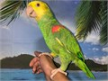 Beautiful Tame  Talking Tres Maria Double Yellow Headed Amazon Parrot for 2800 Now Shipping Natio