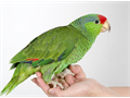 Baby Red-crowned Amazon Parrot 3 Months Old Hand Fed  Hand Raised Tame  Very Friendly That Not
