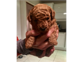 Cute Poodle Puppies available theyre vet dewormed and on shots with papperwork available and potty