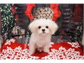 Breed MalShi Maltese  Shihtzu MixNickname NorthDOB April 23 201