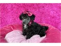 Baby doll face female toy Poodle Silver color Shots are current dewormed and