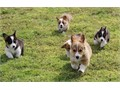 Need to find a home for my 12 weeks old Pembroke Welsh Corgi puppies They get along with cats and a