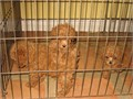 ToyMini Poodle Pups Akc RED Some of these pups will be Toy and some Miniature There were 4 in the