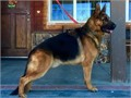 AKC GERMAN SHEPHERD Available for STUD SERVICE imported from Germany Pink Pedigree and Passport in