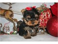 Gorgeous Tiny Yorkie Puppies For Adoption Very Playful and friendly Home breed and well socialized