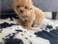If you are looking for a good home puppy just get a look at our Toy Poodle puppi