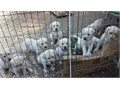 Yellow Labrador Retriever PuppiesAKC Registered Litter OFA Certifications7 weeks old Vet Check
