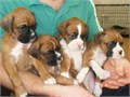 Akc registered  first inoculation and micro chipped and a puppy pack We have spent much time and en