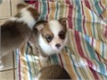 Very Lovely Pembroke Welsh Corgi puppy for Rehoming  He is very intelligent and cute  current on a