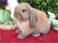 Holland lop bunnies many colors to choose from and many new liters born weekly we offer more than j