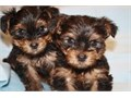 Male and female Baby Yorkie Puppies They are the Toy size black and tan colors and come with the fi