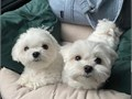 Male and female Maltese puppies up for a good home They are up to date on their puppy shots wormed