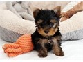 Teacup Yorkie  BoyGirls  11weeks old  vaccinated and come papers interested Textcall 805 293-