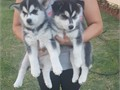 2 siberian husky puppies 1 female1 male Purebreed both parents on premesis Puppies have their fir