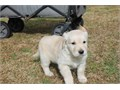 Farm side resort proudly new litters of Akc Golden retriever puppies to join their new homesAll pup