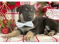 Adorable German Shepherd 12 weeks old vaccinated Very nice coat de-wormed regularly fitted with