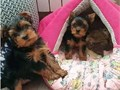 This Yorkie puppies are just perfect They do well with kids and other animals They are 11 weeks ol
