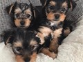 Kids loving male and female Teacup Yorkie puppies available now 10 weeks old Beautiful Yorkie with